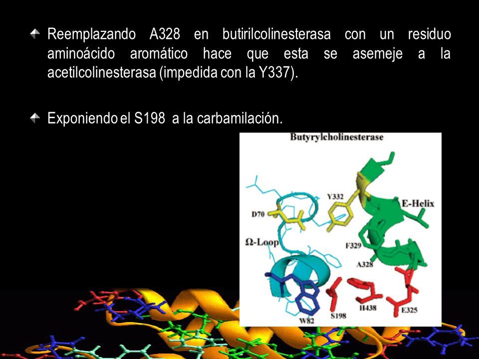 Reemplazando A328 en butirilcolinesterasa con un residuo aminoácido aromático hace que esta se asemeje a la acetilcolinesterasa (impedida con la Y337).
