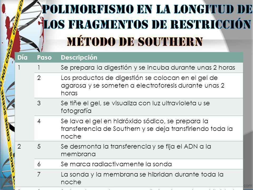Polimorfismo en la longitud de los fragmentos de restricción