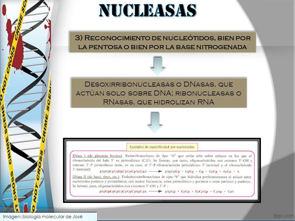 NUCLEASAS 3) Reconocimiento de nucleótidos, bien por la pentosa o bien por la base nitrogenada.