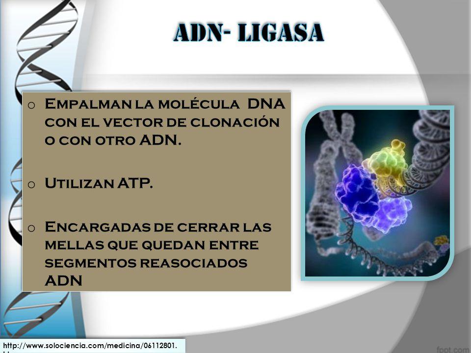 ADN- LIGASA Empalman la molécula DNA con el vector de clonación o con otro ADN. Utilizan ATP.