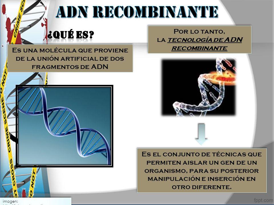 Por lo tanto, la tecnología de ADN recombinante