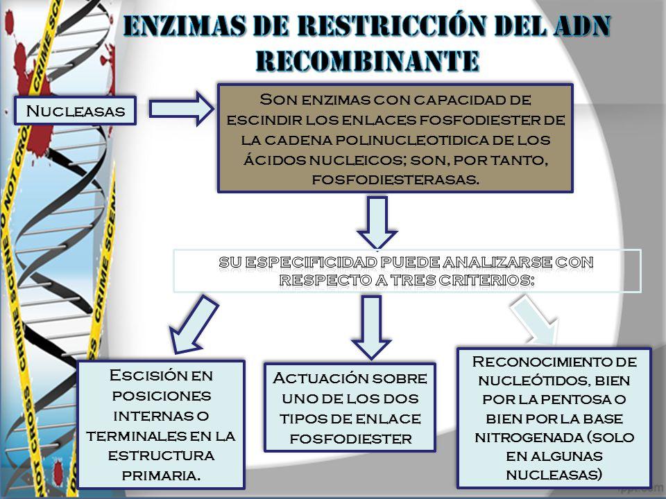 ENZIMAS DE RESTRICCIÓN DEL ADN RECOMBINANTE