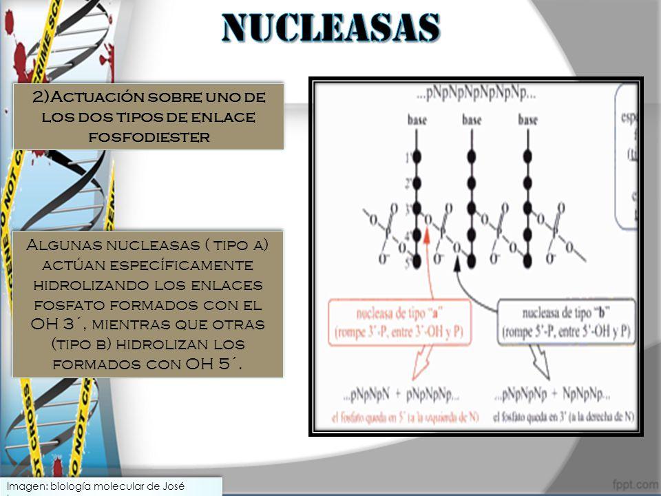 2)Actuación sobre uno de los dos tipos de enlace fosfodiester
