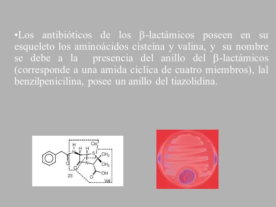 Los antibióticos de los -lactámicos poseen en su esqueleto los aminoácidos cisteína y valina, y su nombre se debe a la presencia del anillo del -lactámicos (corresponde a una amida ciclíca de cuatro miembros), lal benzilpenicilina, posee un anillo del tiazolidina.