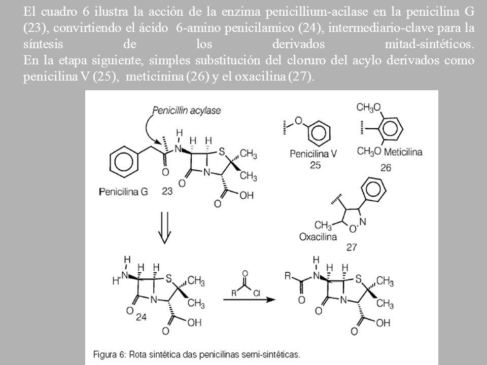 El cuadro 6 ilustra la acción de la enzima penicillium-acilase en la penicilina G (23), convirtiendo el ácido 6-amino penicilamico (24), intermediario-clave para la síntesis de los derivados mitad-sintéticos.