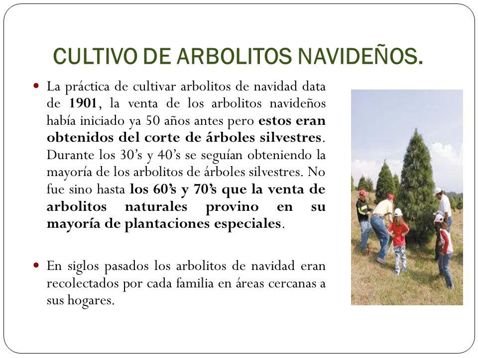 CULTIVO DE ARBOLITOS NAVIDEÑOS.
