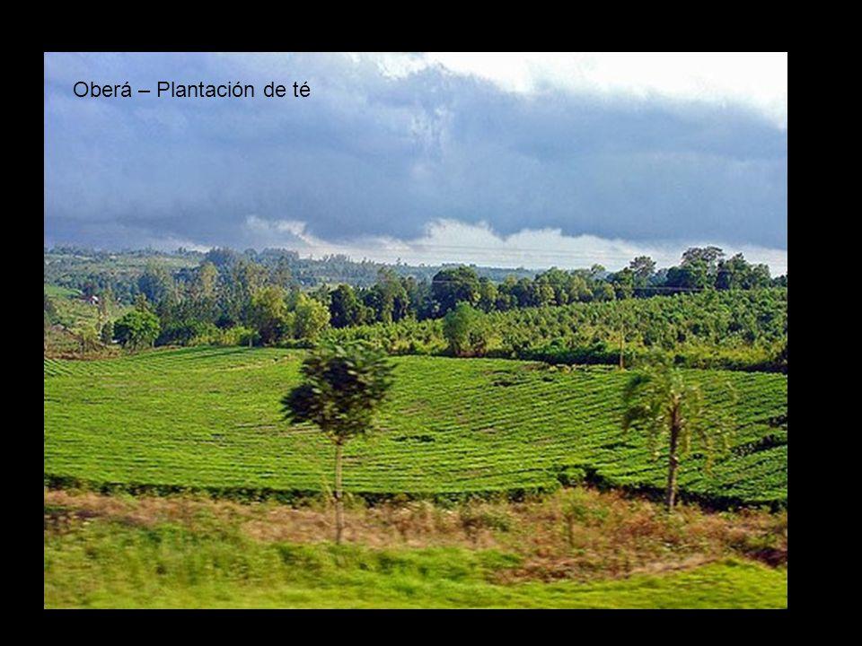Oberá – Plantación de té