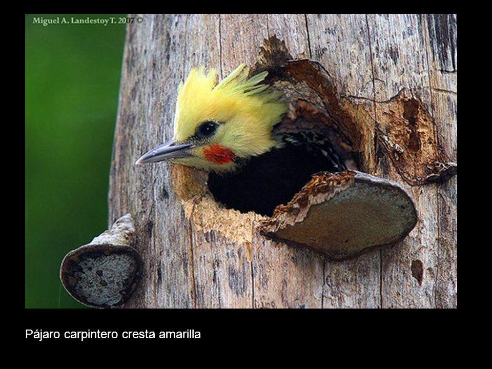 Pájaro carpintero cresta amarilla