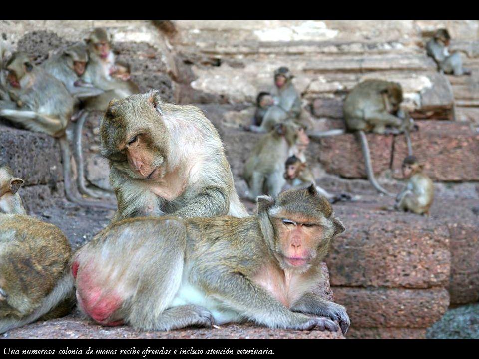 Una numerosa colonia de monos recibe ofrendas e incluso atención veterinaria.