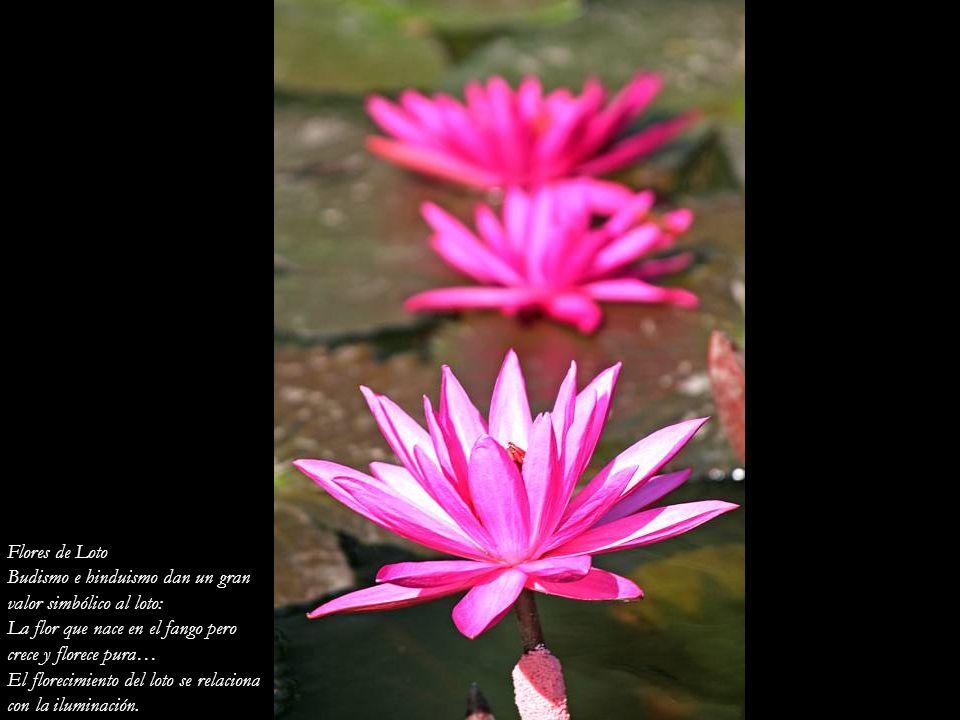 Flores de Loto Budismo e hinduismo dan un gran. valor simbólico al loto: La flor que nace en el fango pero.