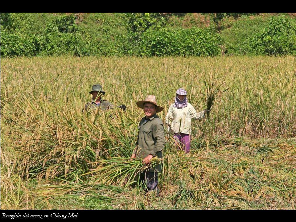 Recogida del arroz en Chiang Mai.