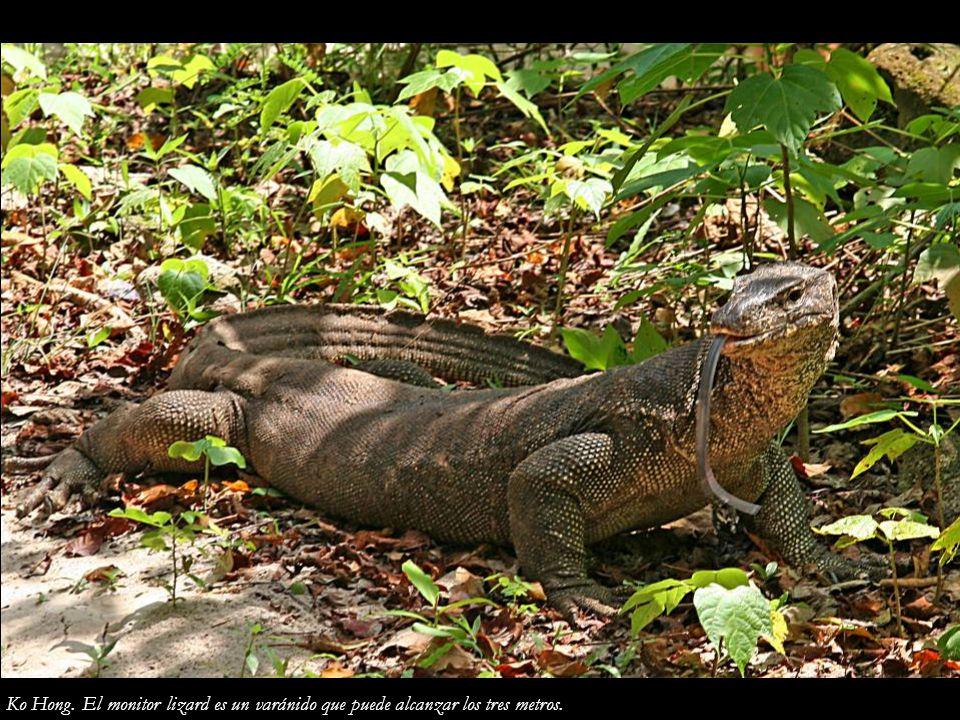Ko Hong. El monitor lizard es un varánido que puede alcanzar los tres metros.