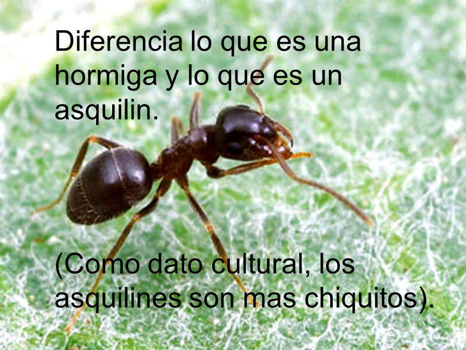 Diferencia lo que es una hormiga y lo que es un asquilin.