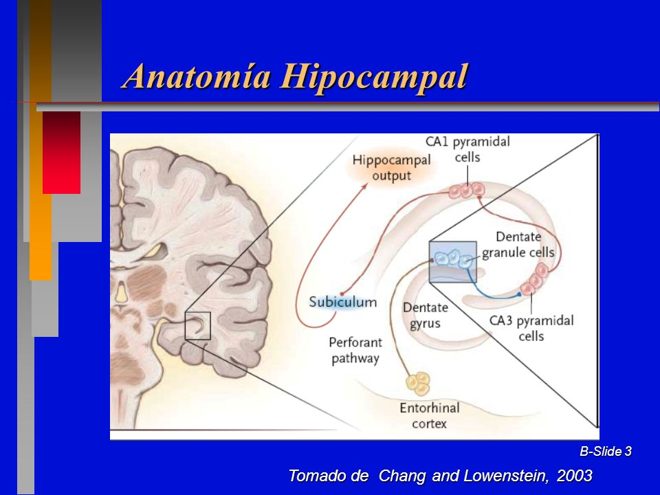 Anatomía Hipocampal Tomado de Chang and Lowenstein, 2003