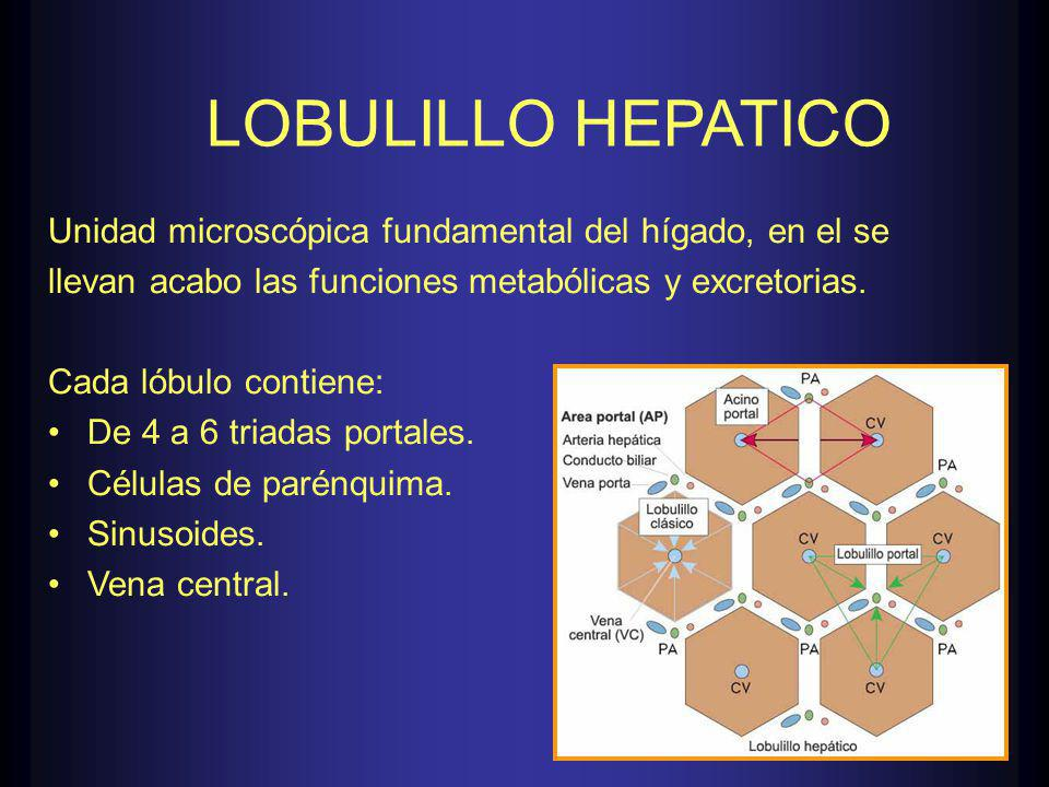 LOBULILLO HEPATICO Unidad microscópica fundamental del hígado, en el se. llevan acabo las funciones metabólicas y excretorias.
