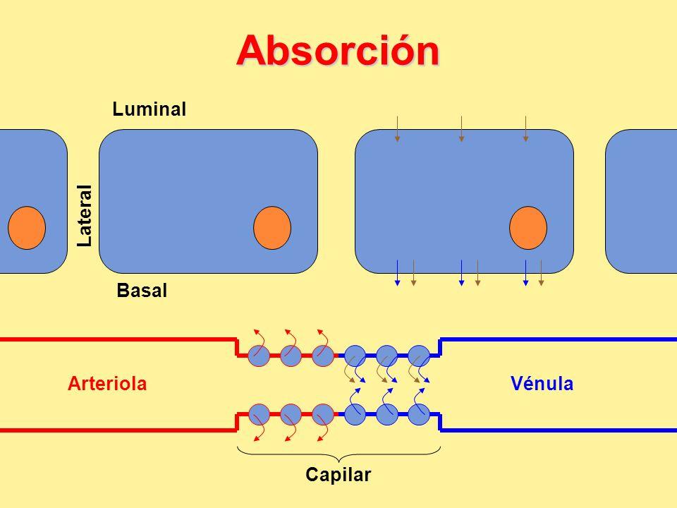 Absorción Luminal Lateral Basal Arteriola Vénula Capilar