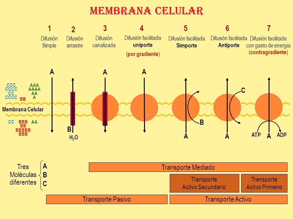 Membrana Celular 1 2 3 4 5 6 7 A A A C B B A A A ABC