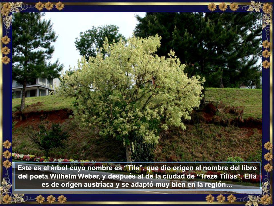 IMG_6533 - TREZE TÍLIAS - ÁRVORE DE TÍLIA-700.j