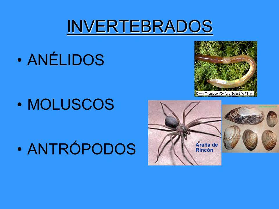 INVERTEBRADOS ANÉLIDOS MOLUSCOS ANTRÓPODOS