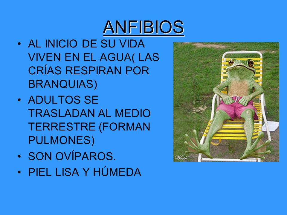 ANFIBIOS AL INICIO DE SU VIDA VIVEN EN EL AGUA( LAS CRÍAS RESPIRAN POR BRANQUIAS) ADULTOS SE TRASLADAN AL MEDIO TERRESTRE (FORMAN PULMONES)