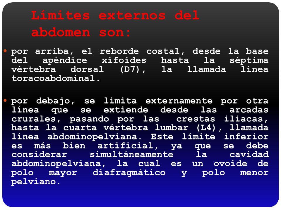 Límites externos del abdomen son: