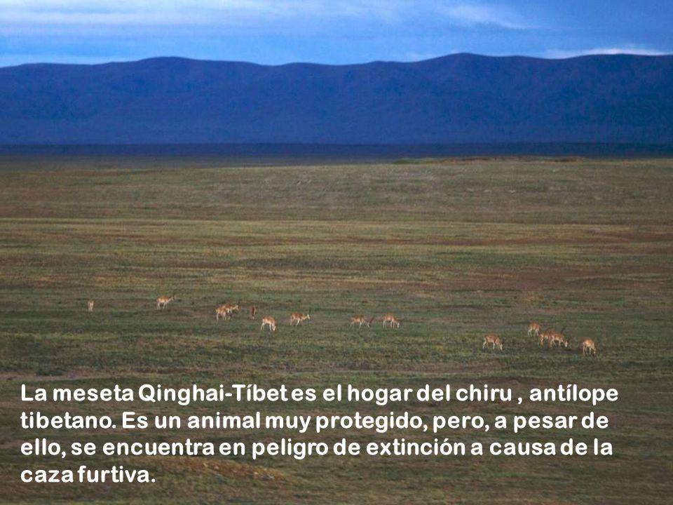 La meseta Qinghai-Tíbet es el hogar del chiru , antílope tibetano