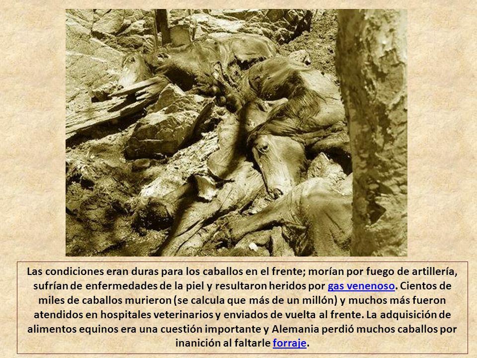 Las condiciones eran duras para los caballos en el frente; morían por fuego de artillería, sufrían de enfermedades de la piel y resultaron heridos por gas venenoso.
