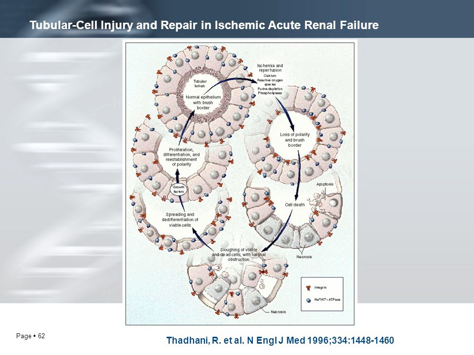 Tubular-Cell Injury and Repair in Ischemic Acute Renal Failure