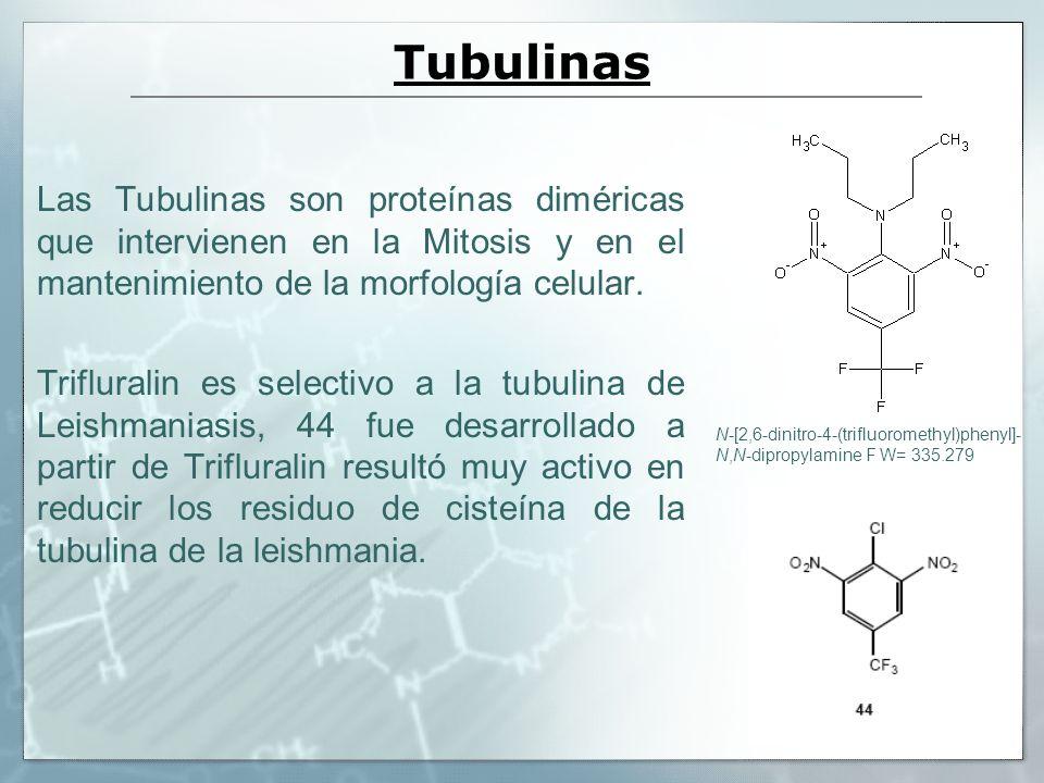 Tubulinas Las Tubulinas son proteínas diméricas que intervienen en la Mitosis y en el mantenimiento de la morfología celular.
