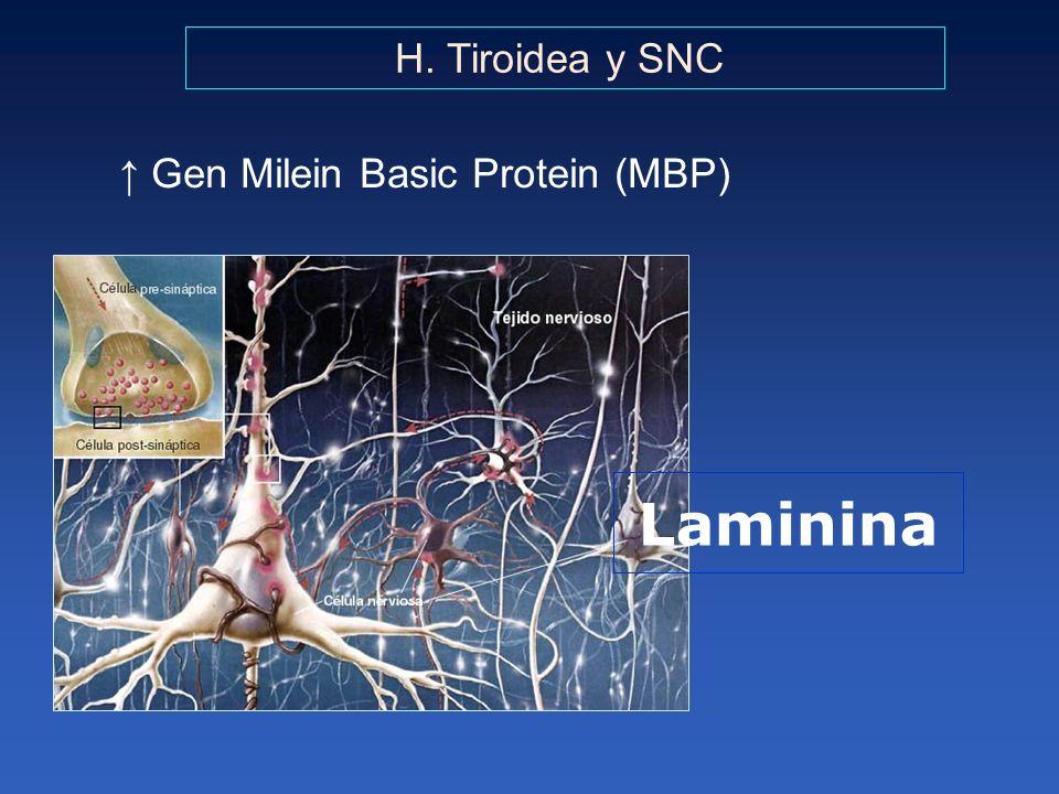 ↑ Gen Milein Basic Protein (MBP)