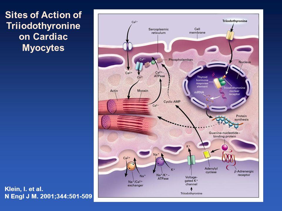 Triiodothyronine on Cardiac Myocytes
