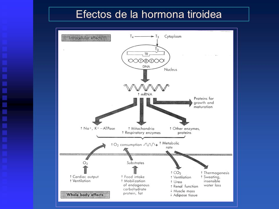Efectos de la hormona tiroidea