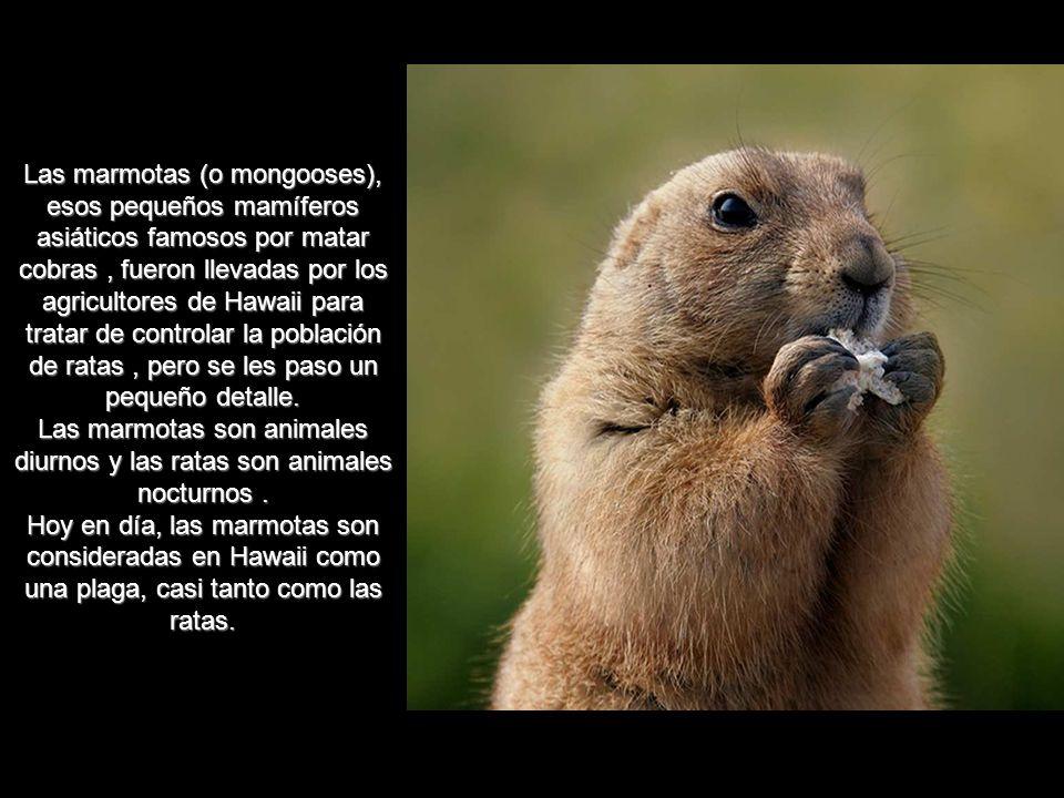 Las marmotas (o mongooses), esos pequeños mamíferos asiáticos famosos por matar cobras , fueron llevadas por los agricultores de Hawaii para tratar de controlar la población