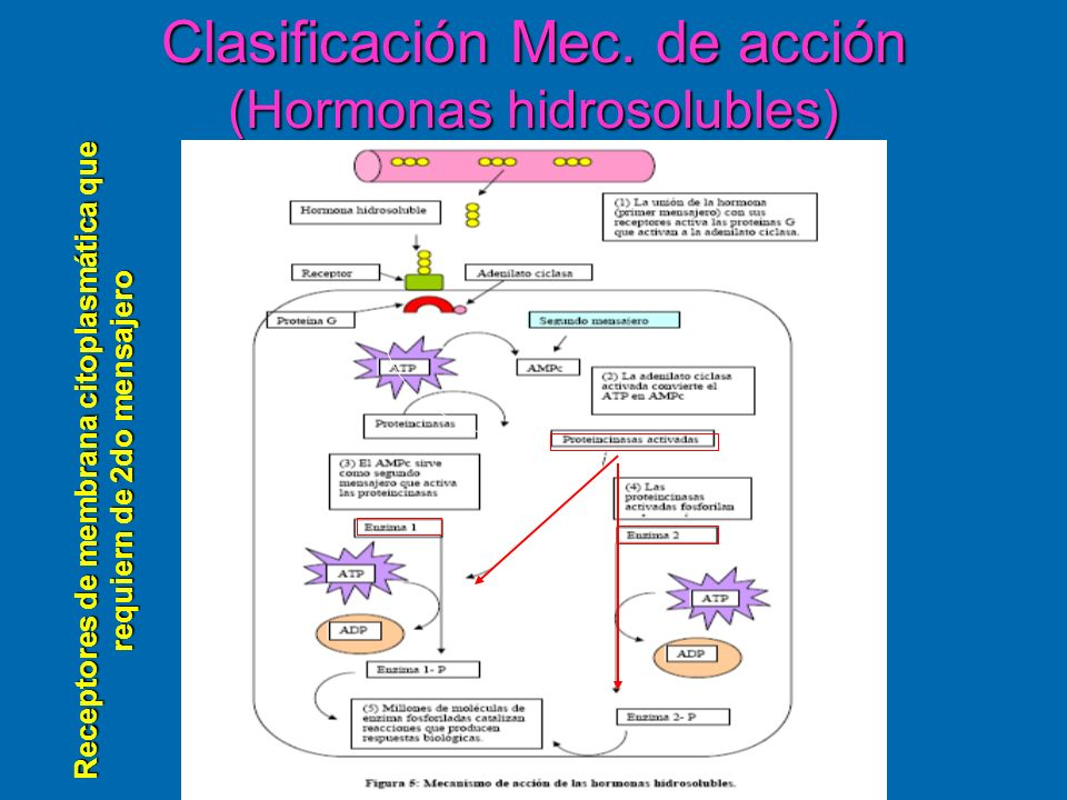 Clasificación Mec. de acción (Hormonas hidrosolubles)