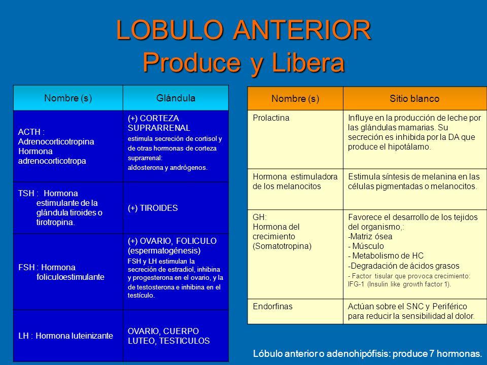 LOBULO ANTERIOR Produce y Libera