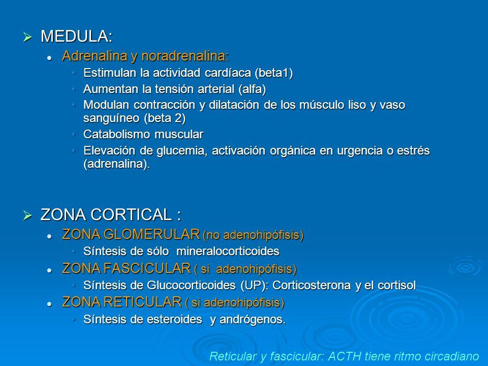 Reticular y fascicular: ACTH tiene ritmo circadiano