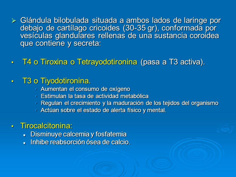 T4 o Tiroxina o Tetrayodotironina (pasa a T3 activa).