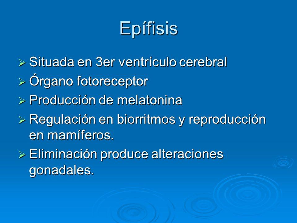 Epífisis Situada en 3er ventrículo cerebral Órgano fotoreceptor