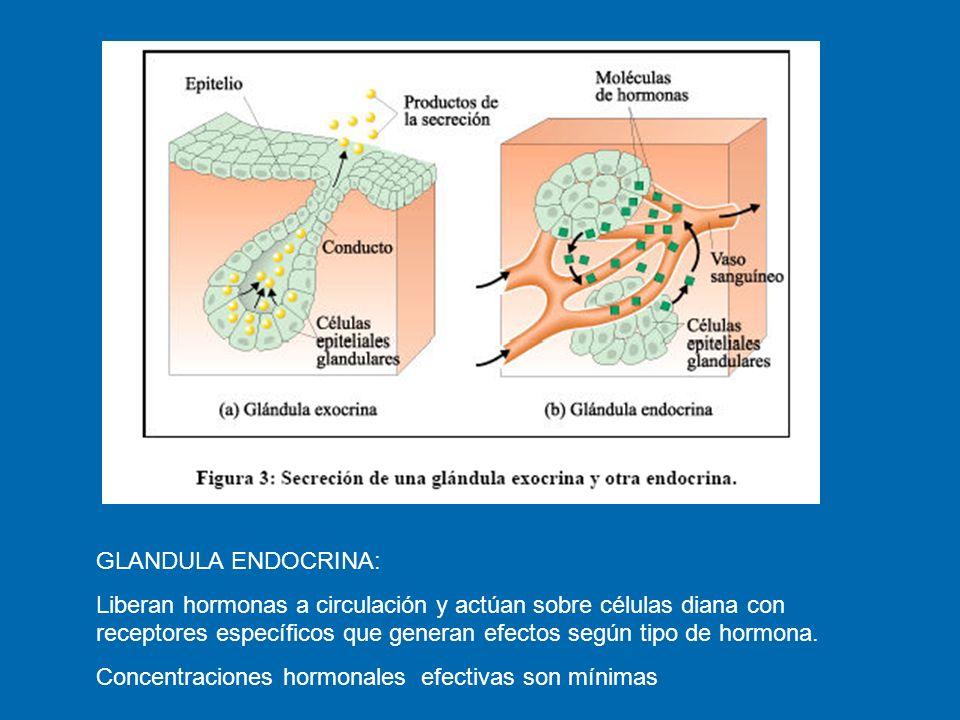 GLANDULA ENDOCRINA: Liberan hormonas a circulación y actúan sobre células diana con receptores específicos que generan efectos según tipo de hormona.