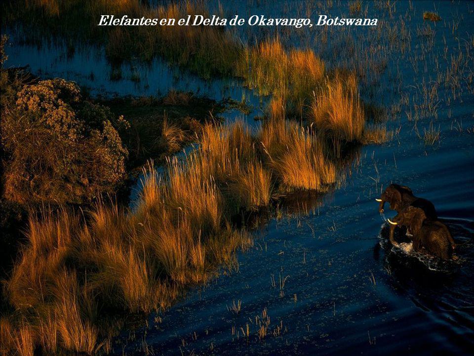 Elefantes en el Delta de Okavango, Botswana