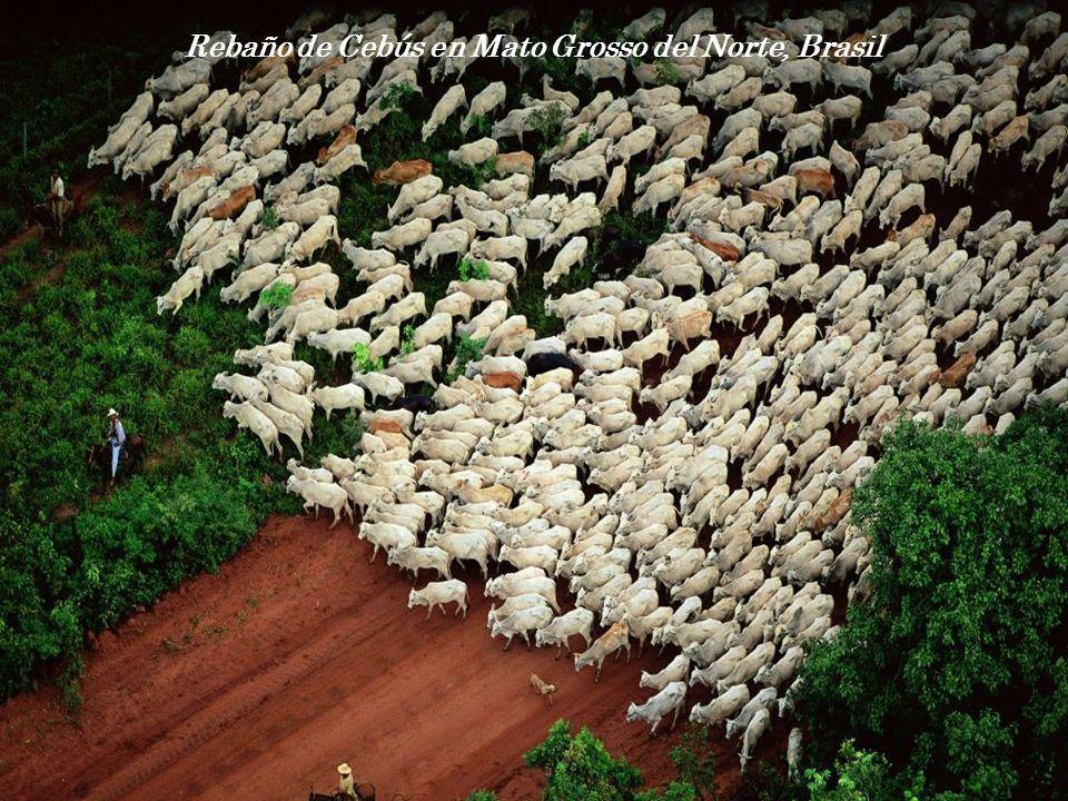 Rebaño de Cebús en Mato Grosso del Norte, Brasil