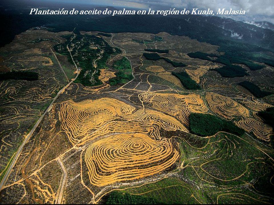 Plantación de aceite de palma en la región de Kuala, Malasia