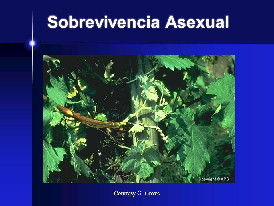 Sobrevivencia Asexual