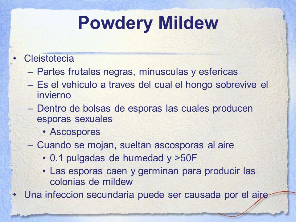 Powdery Mildew Cleistotecia