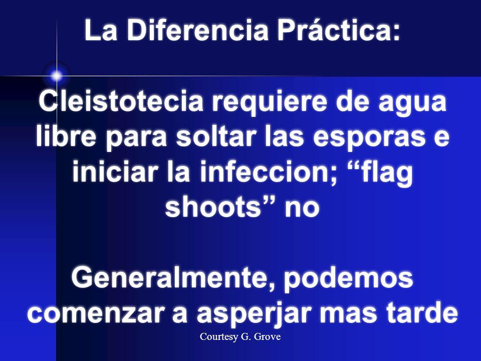La Diferencia Práctica: Cleistotecia requiere de agua libre para soltar las esporas e iniciar la infeccion; flag shoots no Generalmente, podemos comenzar a asperjar mas tarde