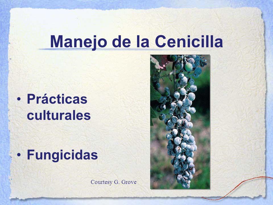 Manejo de la Cenicilla Prácticas culturales Fungicidas
