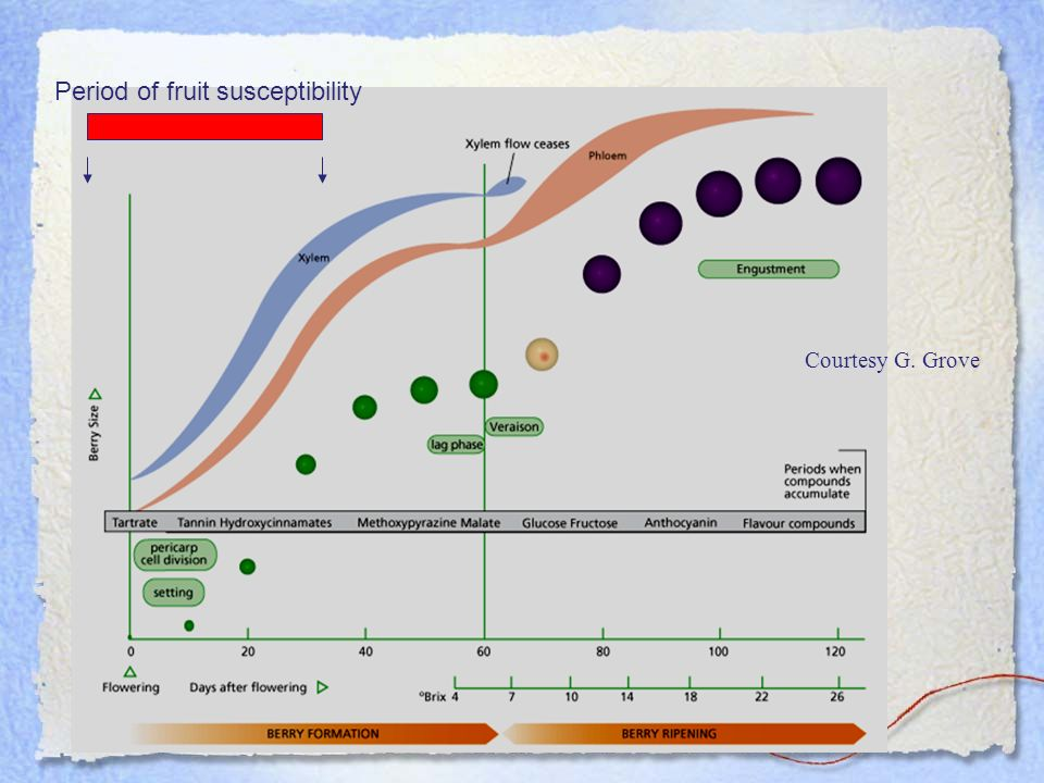 Period of fruit susceptibility