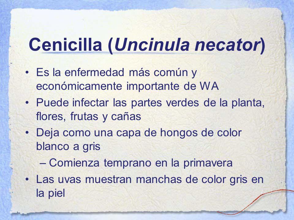Cenicilla (Uncinula necator)