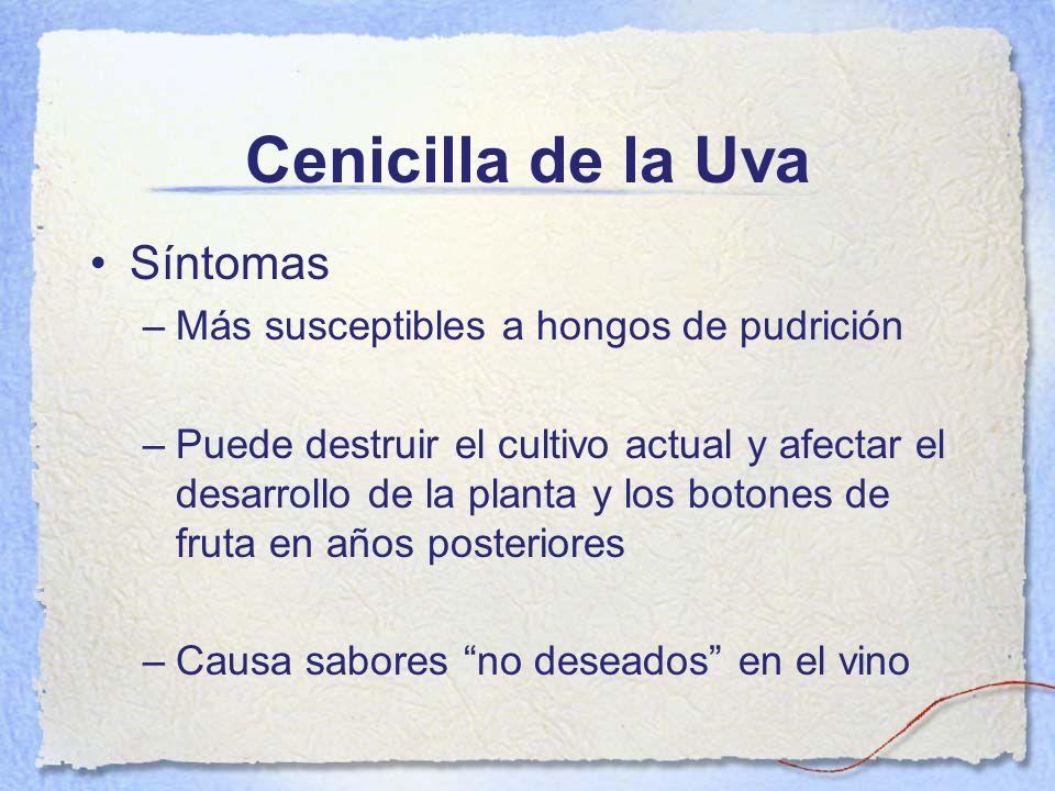 Cenicilla de la Uva Síntomas Más susceptibles a hongos de pudrición