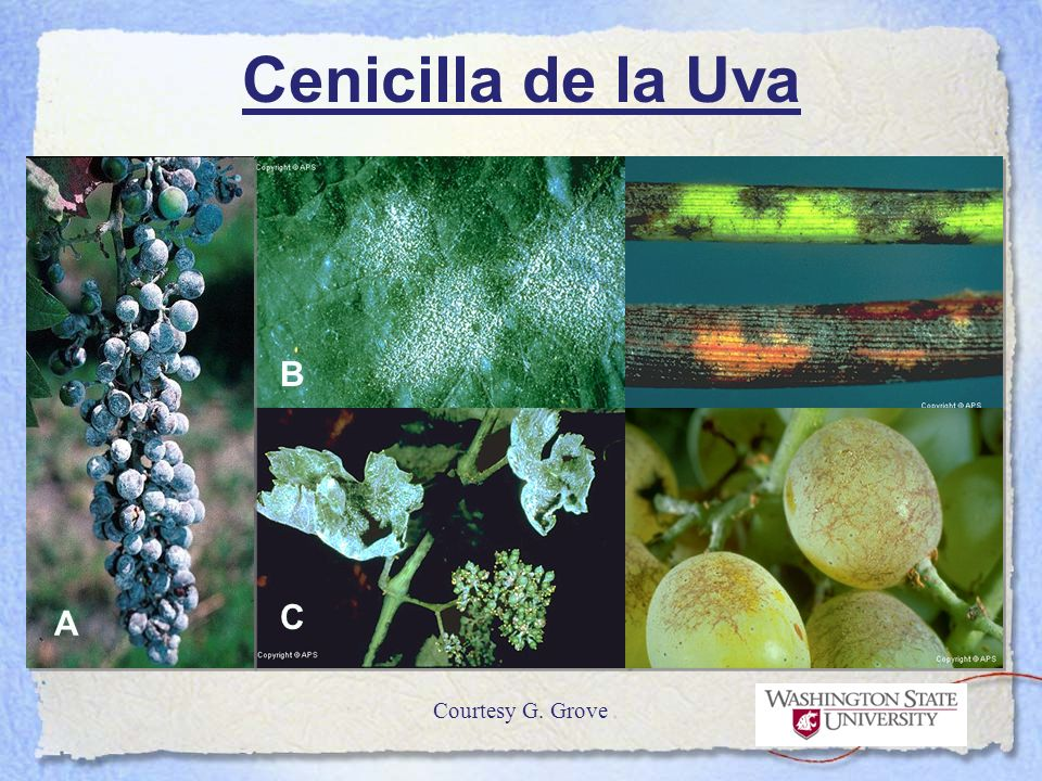 Cenicilla de la Uva B C A Courtesy G. Grove